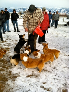 Corgis who won contests at the 'Corgis in the Snow'  event Saturday at the Heart of the Valley animal shelter eagerly await their prizes.